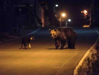 A nap fotói: Medvék kóborolnak Tusnádfürdő utcáin