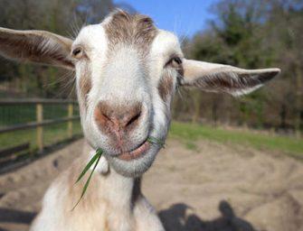 Jógázz kecskével!